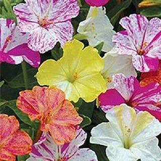 Lumos80 25+ Four O' Clock Flower Seeds Mirabilis Jalapa Very Fragrant Perennial Easy