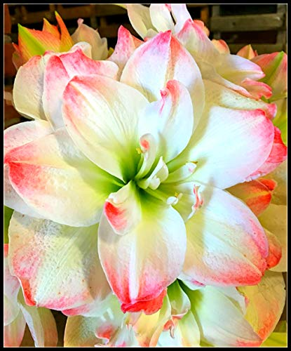 Amaryllis Flower Bulbs for Sale,Sweet,Many Colors,Decor Rare Growing Bonsai,Circumference 12-16 cm,White Pink,2 Bulbs