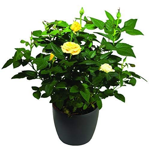 Yellow Potted Indoor Rose Bush A Perfect Way to Stay in Touch.