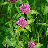 Medium red clover seeds are non-GMO and ready to plant across the U.S. in USDA zones 3 - 10 and can be grown as a perennial clover. Red clover has many uses including cover crops, food plots, pasture mixtures, hay, silage, and other uses which makes ...
