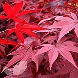 Acero Rosso Giapponese'Acer Palmatum Red Emperor' in vaso ø20 cm
