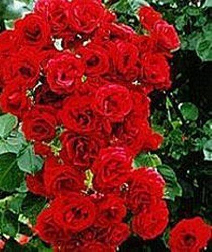 Schöne rote Kletterrose Seeds
