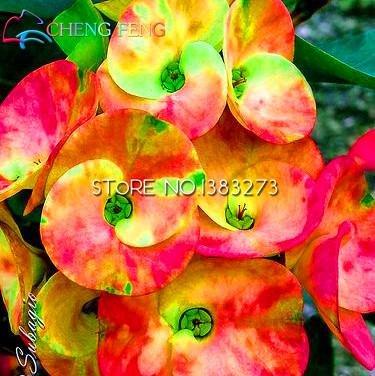 2016 50pcs bleu et blanc Euphorbia milii Seeds nouvelles plantes rares de fleurs de mariage pour jardin poussent très facile