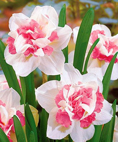 Yukio Samenhaus - Selten Duftend Rosa Narzisse \'Double Duo\' gefüllt Osterglocken Blumensamen winterhart exotisch Toller Farbkontrast, Perfekt für Beet und Vase (50pcs(Nummer SVC032536_3))