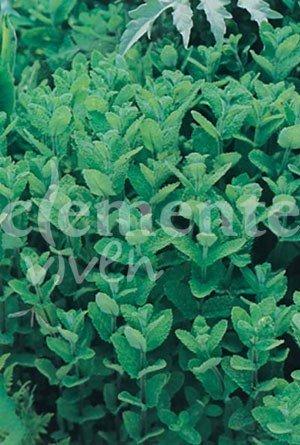 Semillas de Hierbabuena