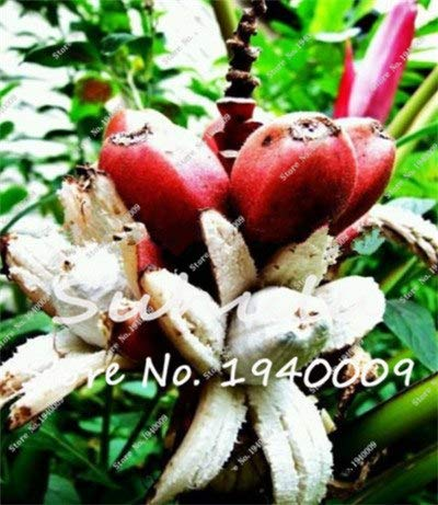 Bloom Green Co. Bonsai 50 Pcs Nain Bananier, Arbre fruitier tropical intérieur, Bonsai Balcon fleurs pour la plantation d'accueil, Germination taux de 95%: c