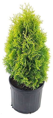 Thuja occidentalis 'Jantar' (Arborvitae) Evergreen, #3 - Size Container