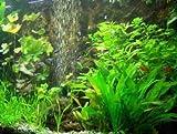60 Wasserpflanzen 5 Topf Neuseelandgras