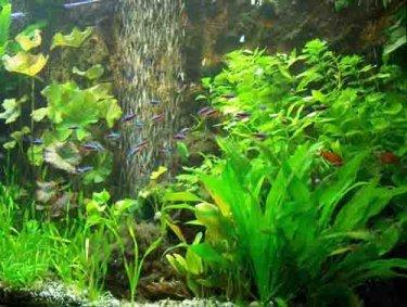 60 Wasserpflanzen 5 Topf Neuseelandgras + Dünger