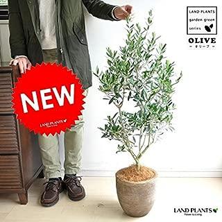 LAND PLANTS オリーブ テラコッタ鉢