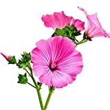 Fnho Raras Semillas de césped,Mezcla Semillas Ornamentales,Flor de Okra Coloreada, Flor de Paisaje Flor de mar-200 Granos