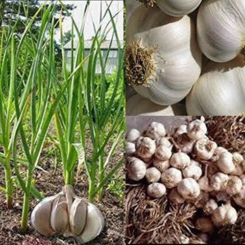 SunYueY Semillas, 50 Unids Semillas De Ajo Gigante Jardín De La Casa Siembra De Plantas Vegetales Nutritivos, Sin OGM Semillas de ajo