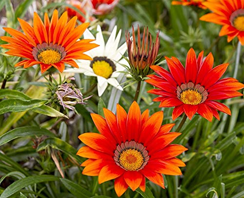 Sommerblume - Gazania rigens Sunshine Mix - Blume - 20 Samen