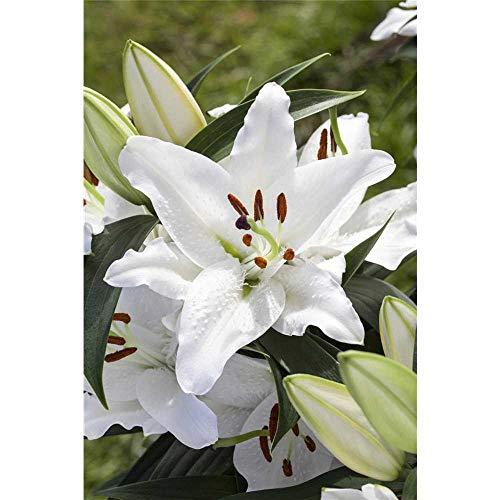 Lilie 'Tiny Crystal', weiß, Lilium, Asiatische Lilie - 3 Zwiebel im Topf 13 cm vorgetrieben, in Gärtnerqualität von Blumen Eber - 13 cm