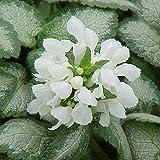 6 x Lamium Maculatum 'White Nancy' - Gefleckte Taubnessel White Nancy Kleincontainer 9cm x 9cm