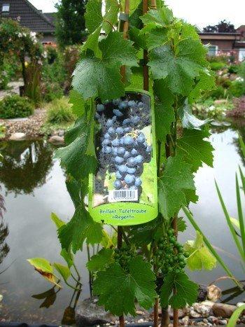 Weinrebe Regent 80 cm hoch im 3 Liter Pflanzcontainer