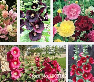 2016 Nouveau Rare HOLLYHOCK QUEENY PURPLE Alcea rosea - 100 Graines de fleurs Mix Couleurs