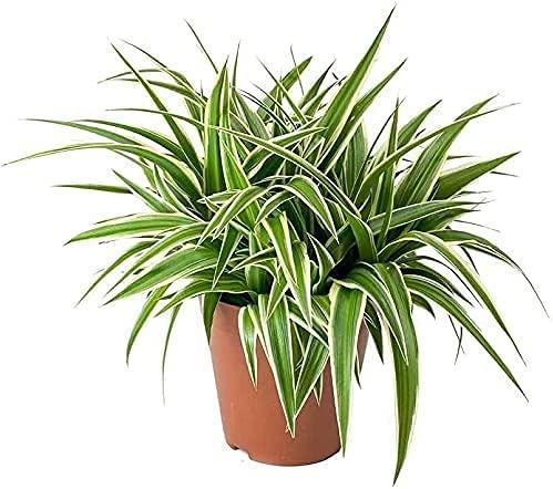 DECOALIVE Chlorophytum Planta Natural de Interior 15-20cm Cinta, Lazo de Amor o Clorofito Planta Purificadora del Aire