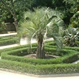 SVI 25pcs Butia odorata Jelly Palm Tree Semillas