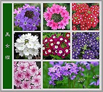 Fleurs Verbena hybrida, graines Verbena hybrida, graines Fleurs Mix Couleur 60 pièces / emballage d'origine