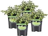Bonnie Plants 4P5081 Peppermint Live Edible Aromatic Herb Plant - 4...