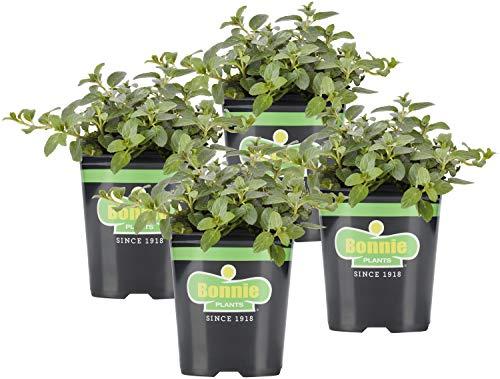 Bonnie Plants Peppermint Live Edible Aromatic Herb Plant - 4 Pack, Pet Friendly,...