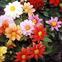 Dahlia Seeds - Early Bird - Packet, Mixed Colors, Flower Seeds