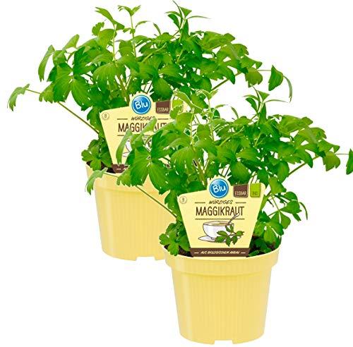 Bio Maggikraut, Liebstöckl (Levisticum officinale), Kräuter Pflanzen aus nachhaltigem Anbau, (2 Pflanzen im Set)