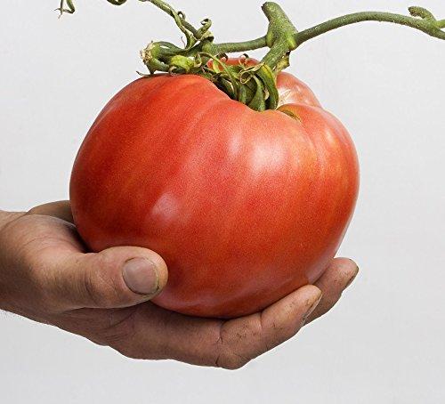 Semillas de tomate Malinowy Olbrzym - Lycopersicon lycopersicum
