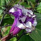 Keptei Samenhaus - 100 Stück Datura Samen Engelstrompete Brugmansia sanguinea Seeds Bonsai Blumensamen für Garten und Balkon Topf usw.