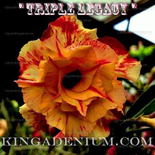 PLAT FIRM GRAINES DE GERMINATION: Adenium obesum Desert Rose\
