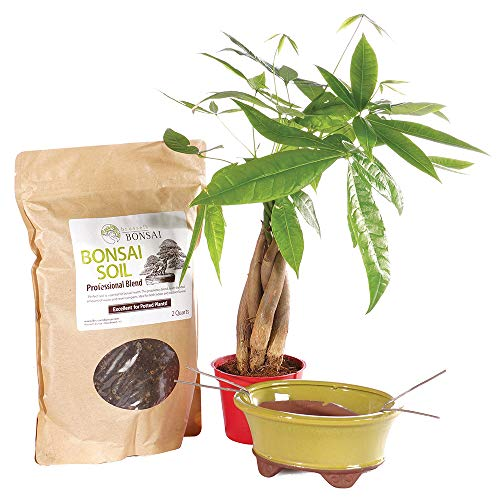 Brussel's Bonsai Live Money Indoor Bonsai Tree PIY Bundle - 4 Years Old 10' to 14' Tall with Soil & Decorative Container, Small
