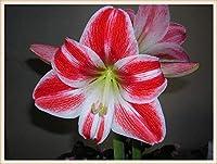 ヒッペストラム球根 - 緑の珍しい植物の装飾的な花、美しい園芸品種