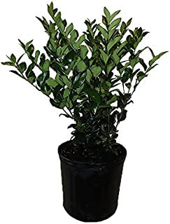 AMERICAN PLANT EXCHANGE Ligustrum Green Live Plant, 3 Gallon,