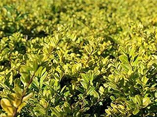 5 x Ilex crenata /'Convexa' Buchsbaum Löffel Ilex Buxus Ersatz 2,19 € pro St