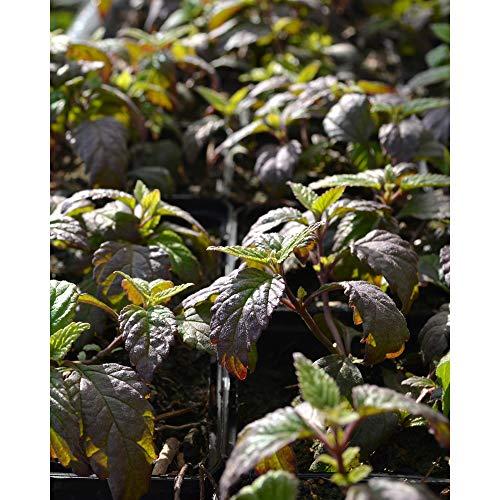Aztekisches Süßkraut   Lippia dulcis  Kräuter Pflanzen 4stk