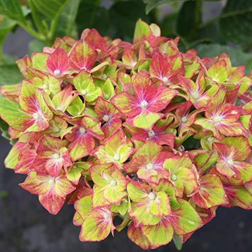 tomgarten Hortensie Saxon® 'Schloss Wackerbarth' | außergewöhnliche Blütenfarbe | rot | für Kübel geeignet | 1 Pflanze