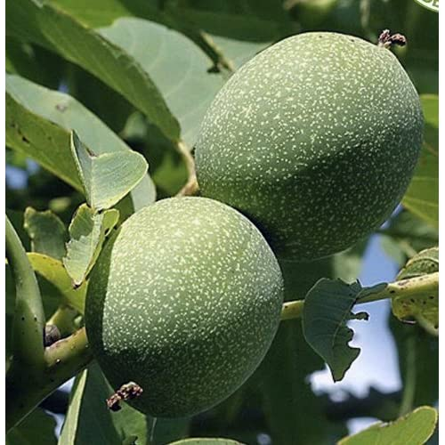 Walnut Trees: Amazon co uk