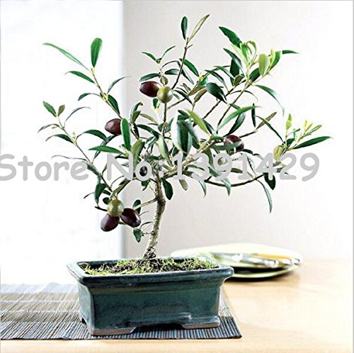 20pcs / sac Olive Tree Bonsai (Olea europaea) Graines, Mini Olive Tree, Olive Bonsai graines fraîches d'arbres exotiques, plantes de jardin