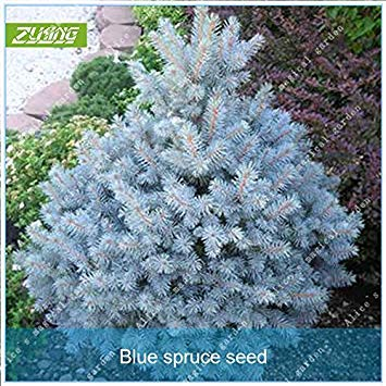 ZLKING 20pcs chinois Blue Tree Spruce Bonsai graines fraîches Belle Absorber gaz nocifs Nature Plantes en pot Graines jardin
