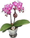 ピンク系ミディー胡蝶蘭【チュンリー】シルバー鉢入り 『4.5号鉢・2本立ち』 生産者より日本全国へ胡蝶蘭をお届けいたします/インターナショナルマーケット