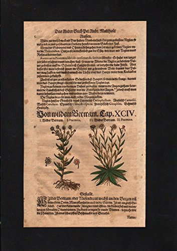 Bertram Anacyclus Nelkengewächs herbs Herbal Kräuter Kräuterbuch Mattioli