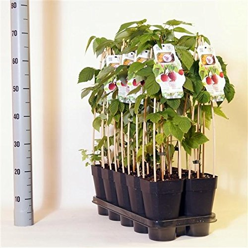 Blumen Senf Rubus ideaus 'Automn Bliss' 30 cm Himbeere