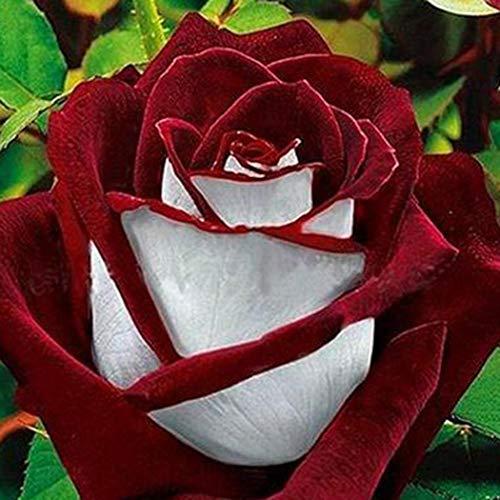 Cioler Seme di Fiore-50 Pz Semi di rose perenni Bonsai Semi di piante Semi di fiori Semi di rosa Rosa ibrida Fiori colorati Semi per il tuo balcone Fioritura lunga resistente