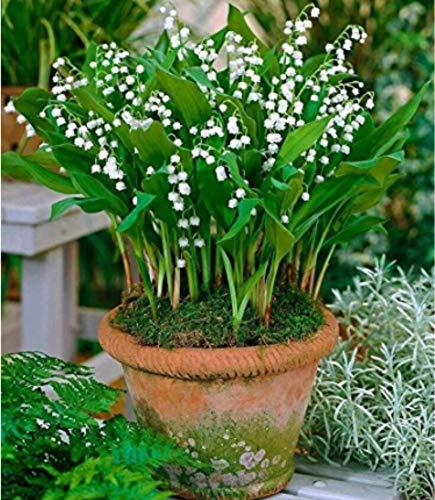 Beautytalk-Garten 100pcs Bunte Maiglöckchen Convallaria Majalis Samen mehrjährige Winterharter Bell Orchidee Blumensamen Hausgarten Balkon Dekoration