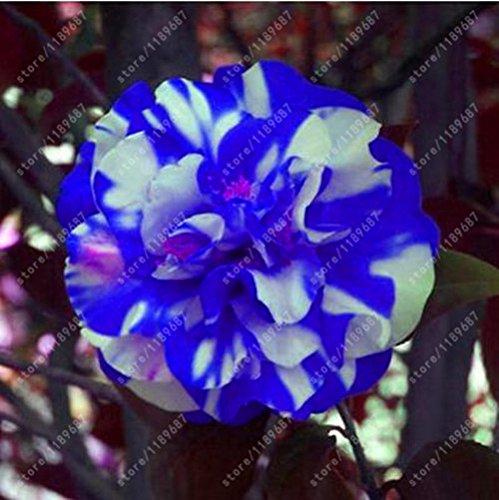 100% des graines Real camélia commun, (Camellia japonica), graines de fleurs bonsaï plantes en pot extérieur de bricolage pour jardin maison 5 pièces/sac 16