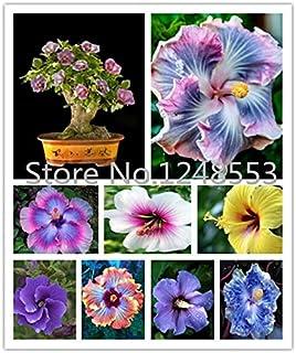 Shopmeeko ¡¡¡En Venta!!!200 Piezas de Plantas de Hibisco 24kinds Hibiscus Rosa-SINENSIS Plantas de Flores Plantas de Hibiscus para Plantas en Maceta: Otros