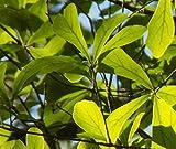 UEYR Water Oak plántulas, Bien Establecida, de 8 a 10 Pulgadas de Alto, (Quercus nigra) Espectro de Roble Roble Oscuro arbusto Oscuro Dosel semilla Bonsai