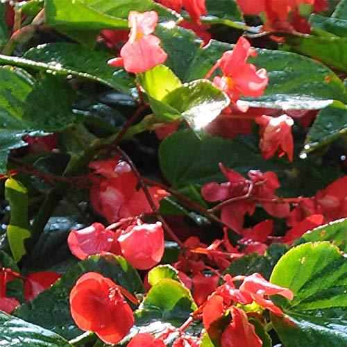 FERRY Graines Bio Seulement Non Plantes: angelwing BÉGONIA Dragon Rouge Aile GRAINES pastillées - Seeds - TIF