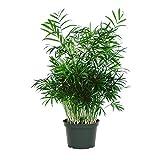"""American Plant Exchange Chamaedorea Elegans Victorian Parlour Palm Live Plant, 6"""" Pot, Indoor/Outdoor Air Purifier"""